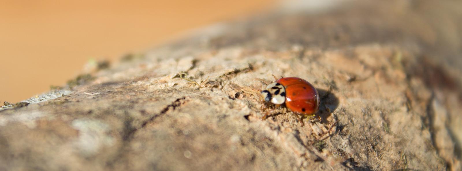 Beetles / Ladybug