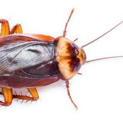 Problèmes de blattes / croquerelles - Extermination Leblanc